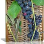 Виноградная лоза обрезка