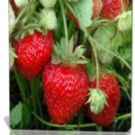 Выращивание земляники усатой или безусой