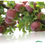 Собрать и сохранить урожай яблок
