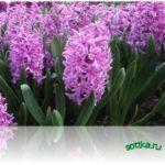 Гиацинты выращивание
