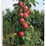 Яблони колонновидные в саду
